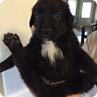 Adopt A Pet :: Orso - New Canaan, CT