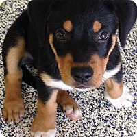 Adopt A Pet :: Sawyer - Washington, PA