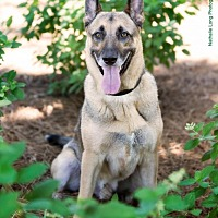 Belgian Shepherd/Belgian Malinois Mix Dog for adoption in Charlotte, North Carolina - Romeo