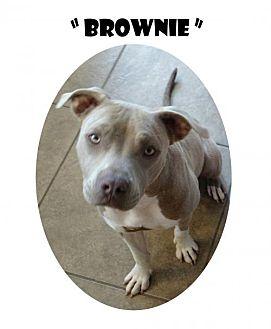 American Bulldog Dog for adoption in Madison, Alabama - Brownie