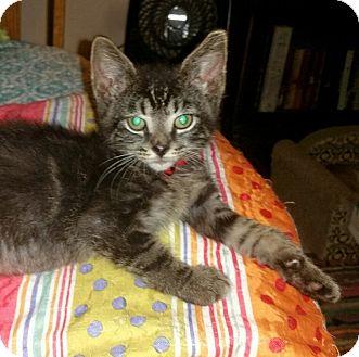 Domestic Shorthair Kitten for adoption in Washington, North Carolina - ZACHEUS