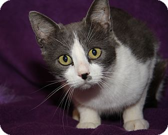 Domestic Shorthair Cat for adoption in Marietta, Ohio - Becky (Spayed)