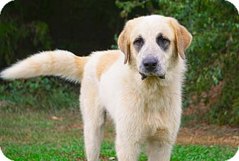 Great Pyrenees/St. Bernard Mix Dog for adoption in Westport, Connecticut - *Rocky - PENDING