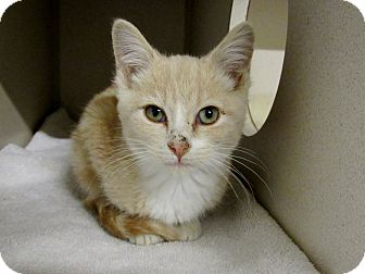 Domestic Shorthair Kitten for adoption in Grinnell, Iowa - Beck