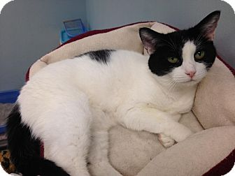 Domestic Shorthair Cat for adoption in Byron Center, Michigan - Allison
