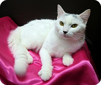 Domestic Shorthair Cat for adoption in St. Louis, Missouri - Snow Queen