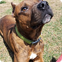 Adopt A Pet :: Simmons - Clarksville, TN