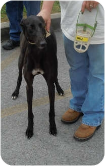 Greyhound Dog for adoption in Knoxville, Tennessee - Lace