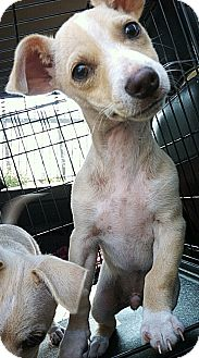 Dachshund/Chihuahua Mix Puppy for adoption in Encino, California - August