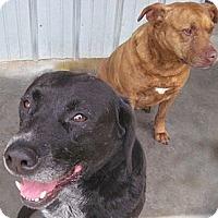 Labrador Retriever/American Pit Bull Terrier Mix Dog for adoption in Tahlequah, Oklahoma - Bruno