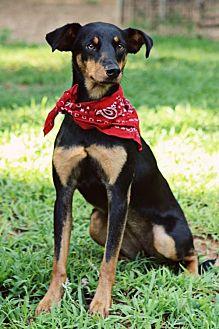 Doberman Pinscher/Feist Mix Dog for adoption in Greenville, South Carolina - Buttercup
