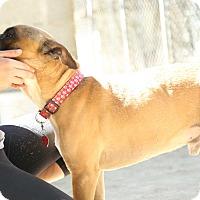 American Bulldog Mix Dog for adoption in Key Biscayne, Florida - JJ