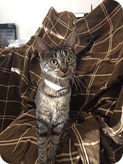 Domestic Shorthair Cat for adoption in University Park, Illinois - Cass