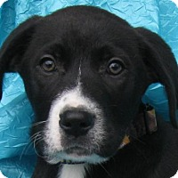 Adopt A Pet :: Crispin Apple Cornerstone - Cuba, NY