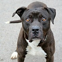American Staffordshire Terrier/Pit Bull Terrier Mix Dog for adoption in Covington, Tennessee - Lance