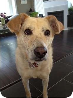Labrador Retriever Mix Dog for adoption in Vancouver, British Columbia - Ginger - Adoption Pending
