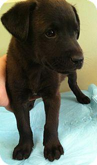 Labrador Retriever Mix Puppy for adoption in El Dorado Hills, California - Filbert