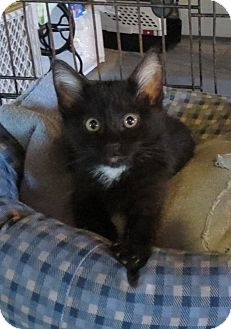 Domestic Shorthair Kitten for adoption in Geneseo, Illinois - Kamlyn