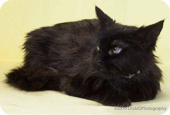 Domestic Longhair Cat for adoption in Las Vegas, Nevada - Bronx