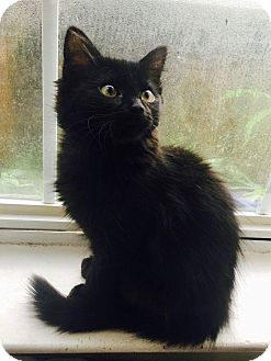 Domestic Mediumhair Kitten for adoption in Navarre, Florida - Chrissy