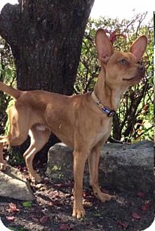 Chihuahua/Basenji Mix Dog for adoption in Mechanicsburg, Ohio - Coco