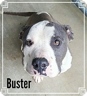 American Pit Bull Terrier Dog for adoption in muskogee, Oklahoma - BUSTER