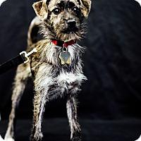 Adopt A Pet :: Mary Gold - Studio City, CA