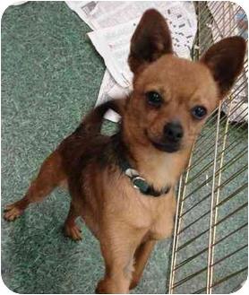 Chihuahua/Pomeranian Mix Dog for adoption in Fowler, California - Flaco