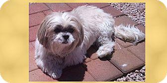 Shih Tzu Mix Dog for adoption in Scottsdale, Arizona - Girlfriend