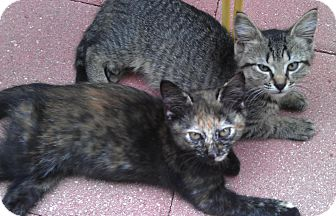 Domestic Mediumhair Cat for adoption in Deerfield Beach, Florida - Marble & Nala