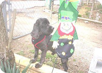 Cocker Spaniel Puppy for adoption in Kannapolis, North Carolina - Tucker  -Adopted!