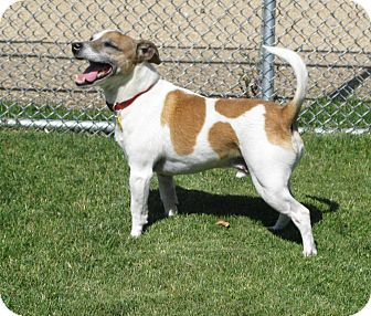 Jack Russell Terrier Dog for adoption in Scottsdale, Arizona - CHAMP