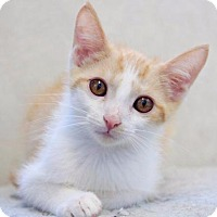 Domestic Shorthair Cat for adoption in Rossville, Tennessee - Bolt