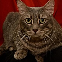 Adopt A Pet :: Ms Keane *F*  the Mother Cat - Sanford, FL