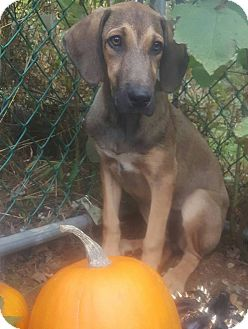 Great Dane Mix Puppy for adoption in New Oxford, Pennsylvania - Britta