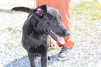 German Shepherd Dog/Flat-Coated Retriever Mix Dog for adoption in Harmony, Glocester, Rhode Island - Lucky Lucy