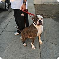 Adopt A Pet :: Biscuit - Cerritos, CA