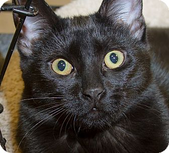 Domestic Shorthair Kitten for adoption in Irvine, California - Midnight