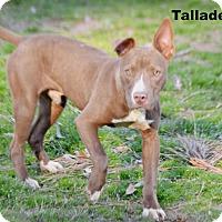 Adopt A Pet :: Talladega - Glastonbury, CT