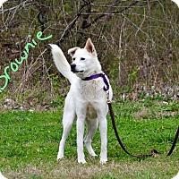 Adopt A Pet :: Brownie - Lebanon, MO