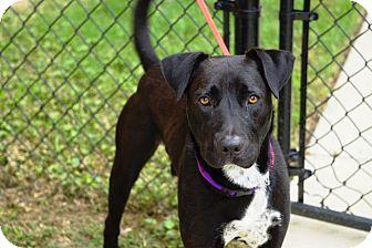 Labrador Retriever Mix Dog for adoption in Peace Dale, Rhode Island - Prince