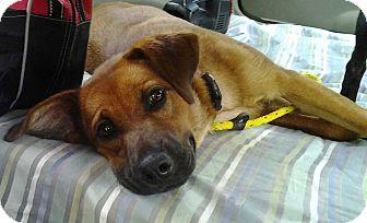 Shepherd (Unknown Type) Mix Dog for adoption in Pocahontas, Arkansas - Tater