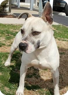 Bulldog/American Bulldog Mix Dog for adoption in Huntsville, Alabama - Rowdy