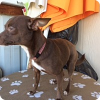 Chihuahua Mix Dog for adoption in Elk Grove, California - VIOLET
