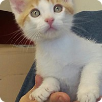 Domestic Shorthair Kitten for adoption in Walnut Creek, California - Oliver & Patches