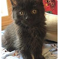 Adopt A Pet :: Samantha - Plymouth, MN