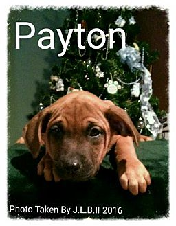 Labrador Retriever/Chow Chow Mix Puppy for adoption in Bay City, Michigan - Payton