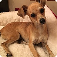 Chihuahua Puppy for adoption in Beaumont, Texas - Rambo
