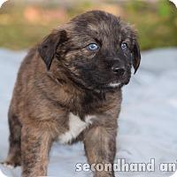 Adopt A Pet :: Salsa - Rosamond, CA