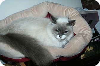 Himalayan Cat for adoption in Santa Rosa, California - Melody